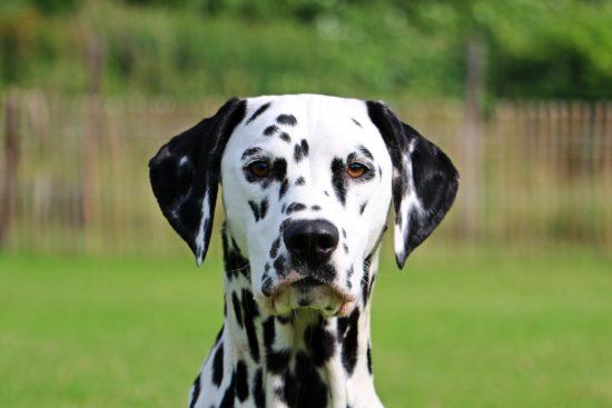 Blaasontsteking of blaasstenen bij hond - dierenarts breukelen