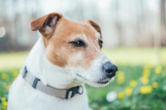 Ontstoken baarmoeder hond